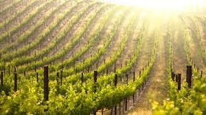 vineyard-in-different