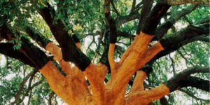 cork-oak-woodland